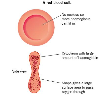 Red blood cell labeled diagram easy to read wiring diagrams blood revision science rh revisionscience com plant cell diagram labeled red blood cell drawing ccuart Choice Image