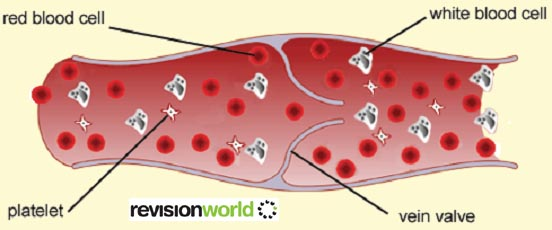 Parts of the Blood - Biology A-Level Revision