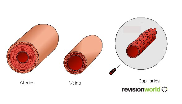 Heart & Circulatory System - Biology GCSE Revision