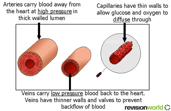 Blood Transport - Biology A-Level Revision