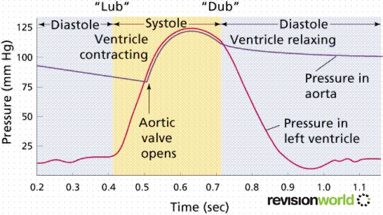 Cardiac Cycle - Biology A-Level Revision