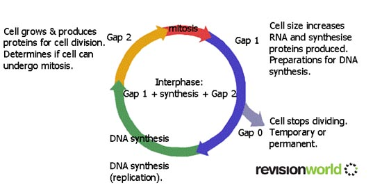 Mitosis cell cycle biology a level revision cell division by mitosis and meiosis ccuart Image collections