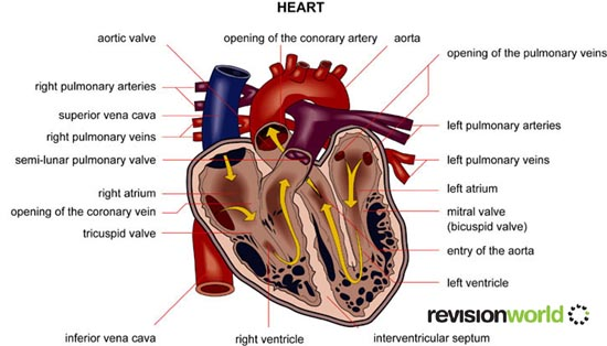 The heart biology a level revision title the heart ccuart