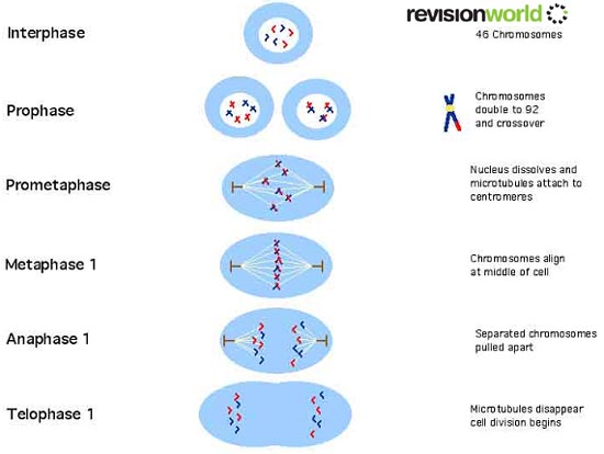 Meiosis Diagram Gcse Images How To Guide And Refrence