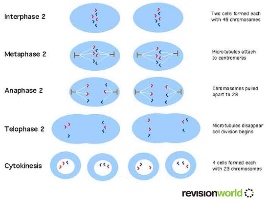 Meiosis divisions biology a level revision meiosis second division ccuart Images